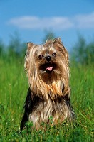 Yorkshire Terrier - sitting on meadow