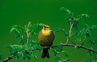 emberiza citrinella / yellowhammer