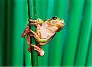 Hyla arborea / European treefrog