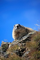 Alpine Marmot,Marmota marmota,Grossglockner Massif,National Park Hohe Tauern,Austria,Alps,Europe,adult resting on rock