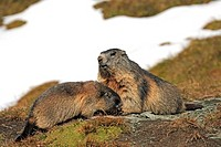Alpine Marmot,Marmota marmota,Grossglockner Massif,National Park Hohe Tauern,Austria,Alps,Europe,adult,resting,with young,social behaviour,Portrait