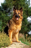 Old German Shepherd - sitting on rock