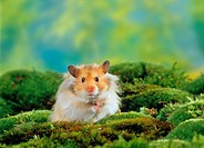 young long-haired hamster - between moss