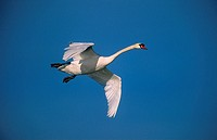 Mute swan / Cygnus olor