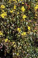 Oregon grape flowers Mahonia aquifolium ´Atropurpurea´  This plant is used in herbal medicine in the treatment of gastritis and general digestive prob...