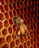 Hive Bee at honeycomb / Apis mellifera mellifera