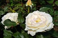Rose flowers Rosa Renaissance = ´Harzart´