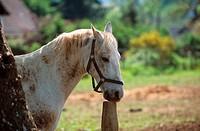 crip biting horse