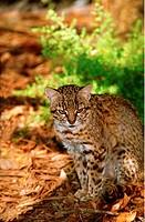 Geoffroy´s cat / Felis geoffroyi / Oncifelis geoffroyi