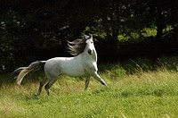 Andalusian horse - on meadow
