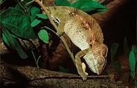 giant chameleon / warty chameleon on branch / Chamaeleo verrucosus / Furcifer verrucosus