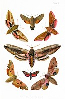 British moths, historical illustration of some of the moth species that were known to occur in the British Isles in the 19th century  The moths here a...