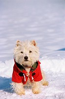 West Highland White Terrier - standing with jacket in snow