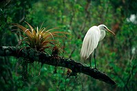 great white egret on branch - next to flower / Egretta alba / Casmerodius albus