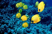 Golden butterflyfish Chaetodon semilarvatus over a coral reef  Photographed in the Red Sea, Egypt