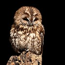 Tawny owl Strix aluco perched on a stump  This owl is resident throughout Europe and parts of Russia