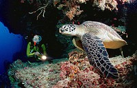Green Turtle and scuba diver / Chelonia mydas