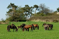 blooded arabians herd - with foal - on grass
