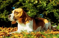 Beagle - lying on leaves