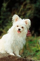 hybrid dog - maltese / chihuahua - sitting on stone