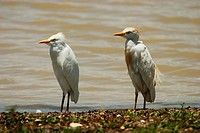 two cattle egrets / buff-backed herons - standing at water / Ardeola ibis / Bubulcus ibis