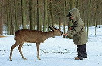 child feeding doe - winter / Capreolus capreolus