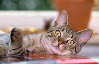 cat - lying