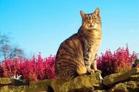 tabby domestic cat - sitting in front of heather