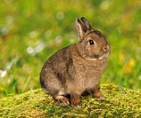 dwarf rabbit - sitting on moss