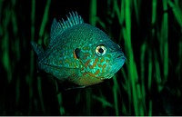 Pumpkinseed Sunfish, Pumpkinseed sunfish, Punkies, Yellow sunfish, Lepomis gibbosus, North america, america, USA, Florida