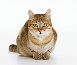 domestic cat sitting - cut out
