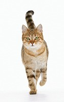 domestic cat walking - cut out