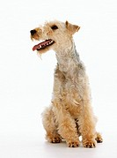 Lakeland Terrier - sitting - cut out