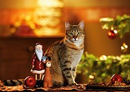 domestic cat - sitting next to christmas decoration