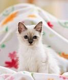 Sacred cat of Burma - kitten on blanket