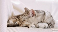 British Shorthair cat - sleeping on blanket