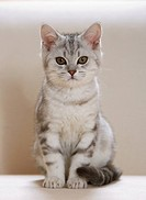 British Shorthair kitten - sitting restrictions:Tierratgeber-Bücher / animal guidebooks