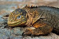 Galapagos Land Iguana - lying lateral / Conolophus subcristatus