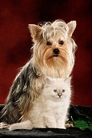 animal friendship : Yorkshire Terrier and Sacred cat of Burma kitten
