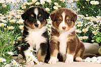 Australian Shepherd - 2 puppies between flowers