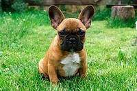 young French Bulldog - sitting on meadow