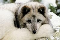 Arctic Fox (Alopex lagopus) resting on rock in winter