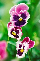Pansy Trio. Viola x wittrockiana. July 2006, Maryland, USA