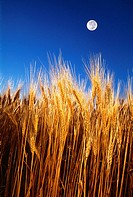Agriculture - Side view of mature heads of wheat, ready for harvest, with the full moon in the sky above / near Ponteix, Saskatchewan, Canada