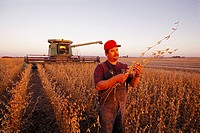 An farmer stands inspecting soybean stalks and pods in his mature soybean field at sunset during the harvest, with his combine in the background / Iow...
