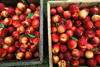Agriculture - Freshly harvested nectarines in a harvesting bin / Illinois, USA