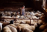 Livestock - A sheep farmer tends to his flock in a barn / Biure, Girona, Catalonia, Spain