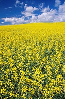 Canola field near Notre Dame de Lourdes, Manitoba, Canada