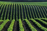 Bean field near Treherne, Manitoba, Canada