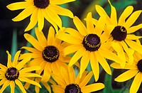 Rudbeckia hirta, Black-eyed Susan in bloom, Canada